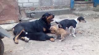 Кот сосет молоко у собаки)))