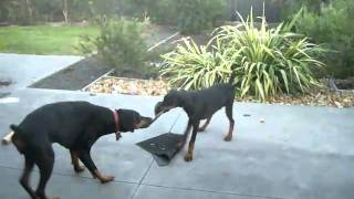 Doberman Puppy Hunter