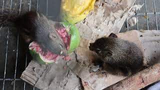 Xem hai chú sóc ăn trái cây rất cute