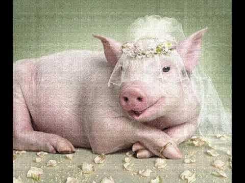 Картинки по запросу свиня