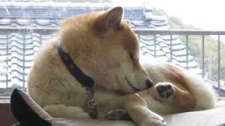 柴犬 朝からおじゃまします。