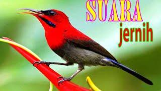 Download Lagu Suara SEPAH RAJA gacor// jos buat masteran cucak ijo mp3