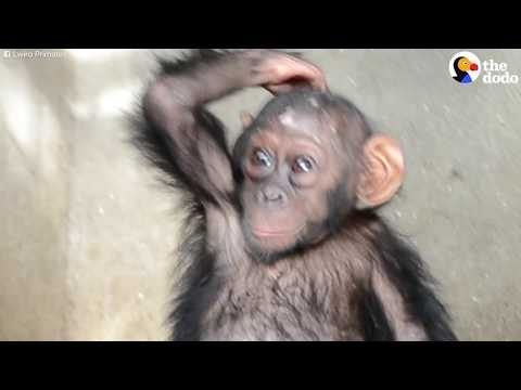 Baby Chimp Almost Sold As Pet | The Dodo