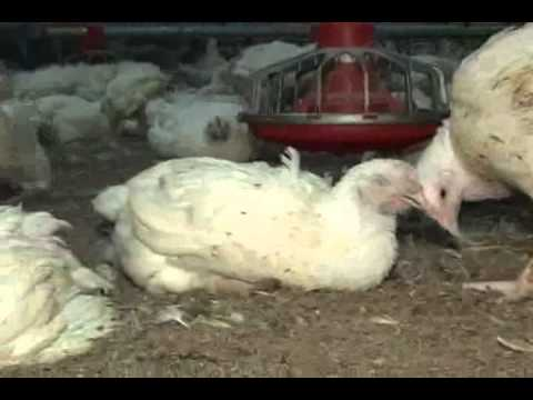 chicken cruelty ดูวิดีโอ two chicken farmers contracted by tyson foods to provide poultry for mcdonald's have plead guilty to one count of animal cruelty.