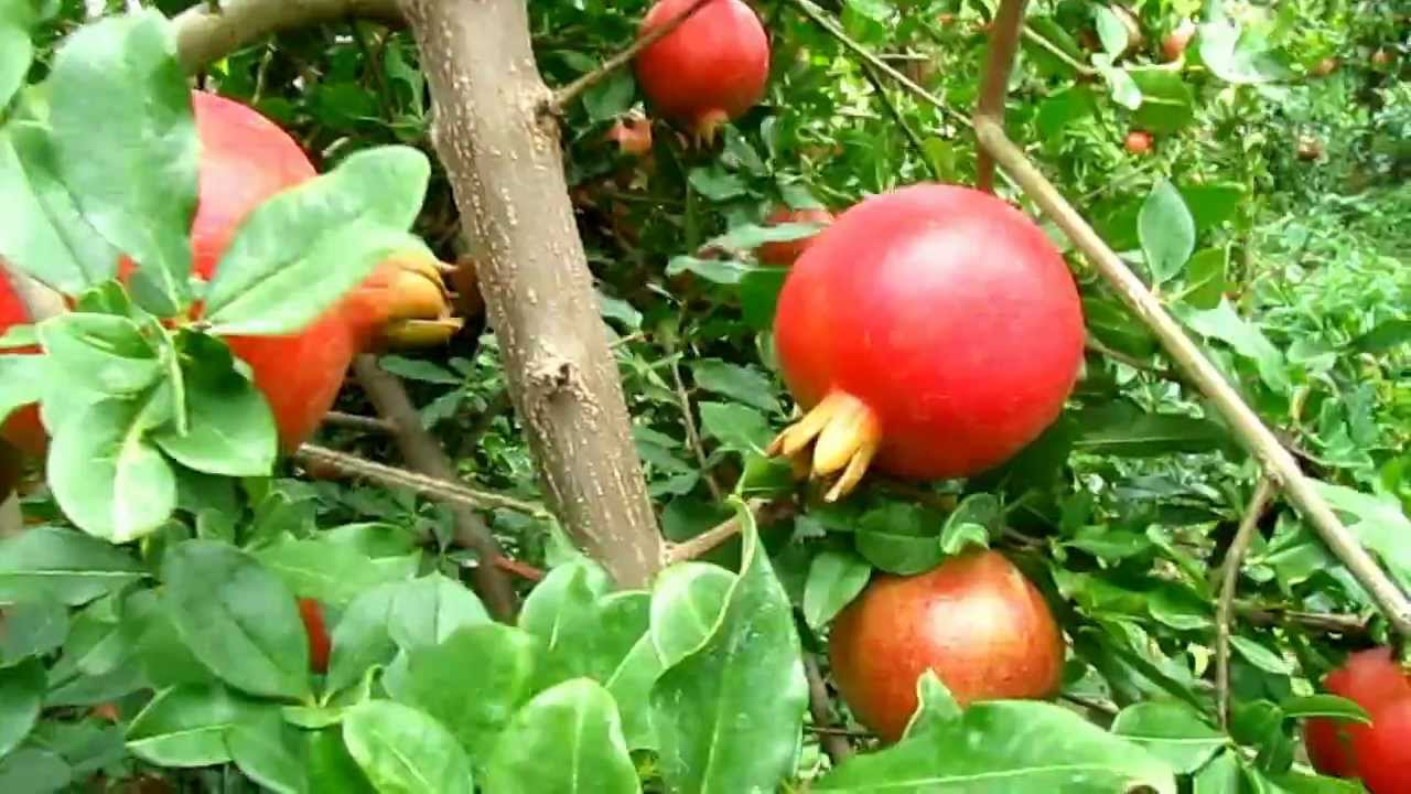 As the pomegranate grows. Useful qualities and properties of pomegranate 39