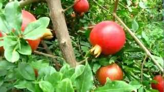 Pomegranate cultivation in India - excellent quality