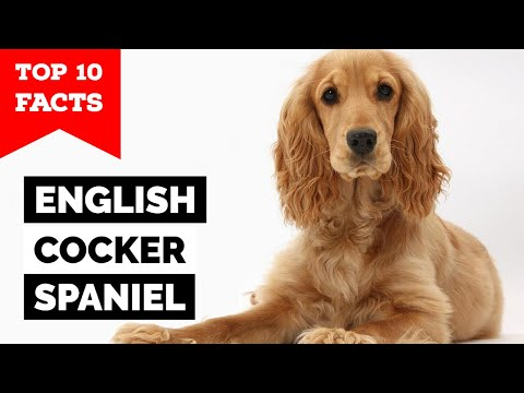 English Cocker Spaniel – Top 10 Facts
