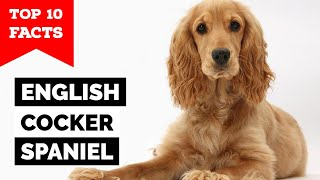 English Cocker Spaniel  Top 10 Facts
