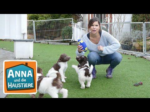 Labradoodle   Information für Kinder   Anna und die Haustiere