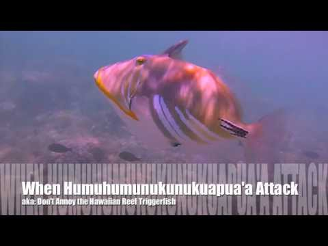 When Humuhumunukunukuapua'a Attack: Don't Annoy The Hawaiian Reef Triggerfish!