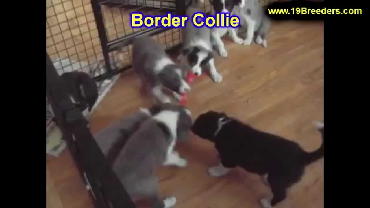 Border Collie, Puppies, Dogs, For Sale, In Tampa, Florida ...
