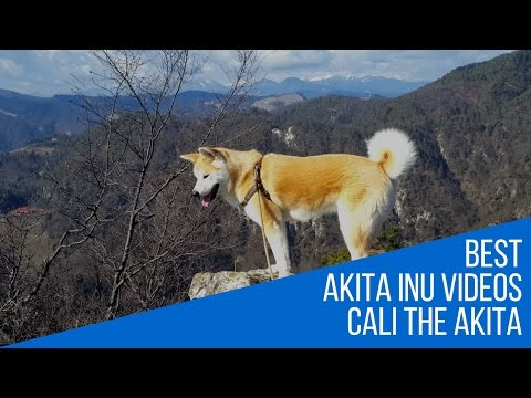 Best dog breed Akita Inu Fun mountain hike (Japanese Akita, 秋田犬)