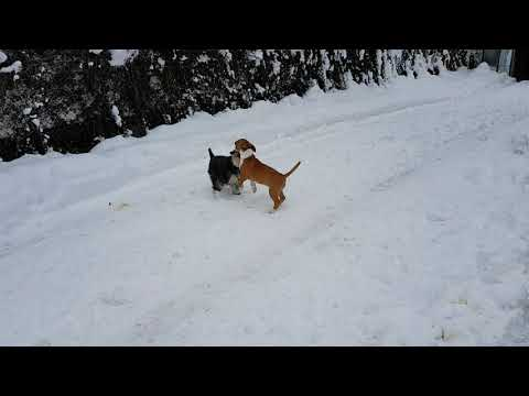 Miniature Bull Terrier - Miniature Schnauzer Nessa vs MBT Smoki in the snow