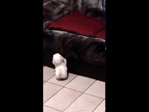 Hermoso mini cachorrito llora para subir al sofá !!