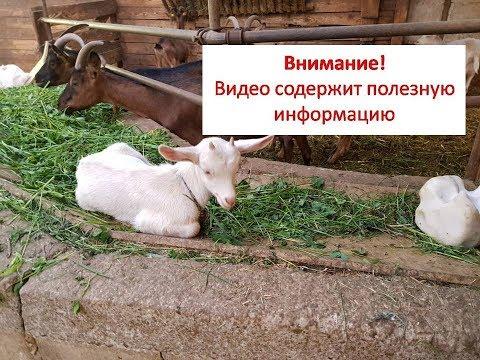 Сколько козлу надо невест?///Что делать с козлятами?///Ответы на комментарии №10