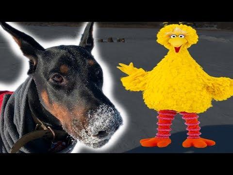Doberman Guards Home From Bird |  January Vlog