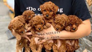 Chó poodle lông xoăn | Poodle nâu đỏ | Trại Chó Bình Cao | 096.1111.511