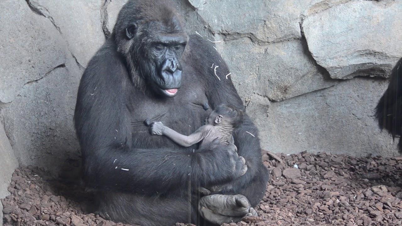 bajo precio 417db 7c048 La gestación y reproducción del gorila