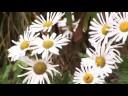 How to Grow Montauk Daisy