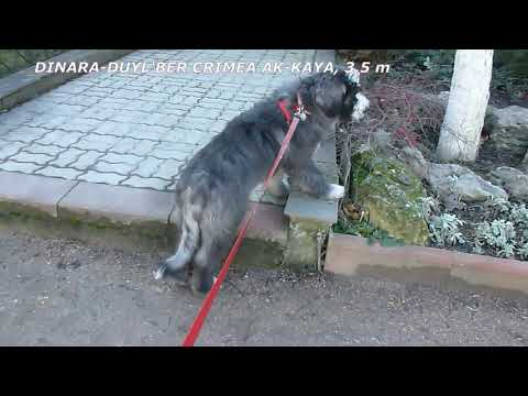Щенок южнорусской овчарки DINARA-DUYL'BER CRIMEA AK-KAYA 3,5m