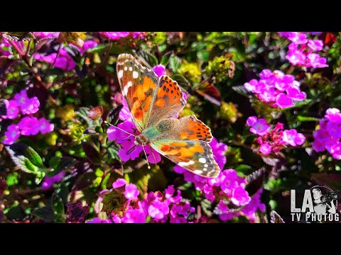 Painted lady butterflies fill the skies over southern California
