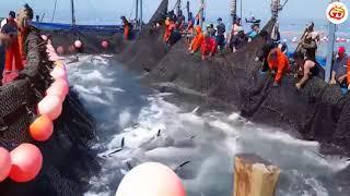 Cận cảnh đánh bắt cá lớn nhất Vịnh Bắc Bộ