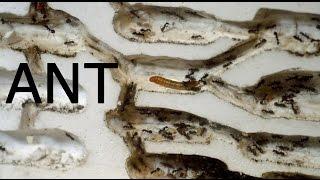 蟻の巣に虫が侵入!狩りをする働き蟻!【蟻の巣パニック!?】 [ ant farm ]