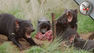 Tasmanian Devil Feeding Frenzy! - in VR180!