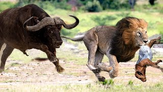 Great Mother Buffalo destroyed the pride of Lion save newborn Buffalo on the territory of Lion's