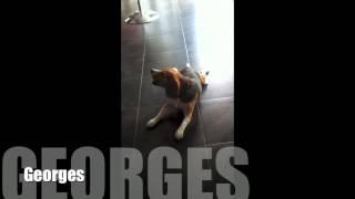 georges le beagle qui chante sur du cline dion