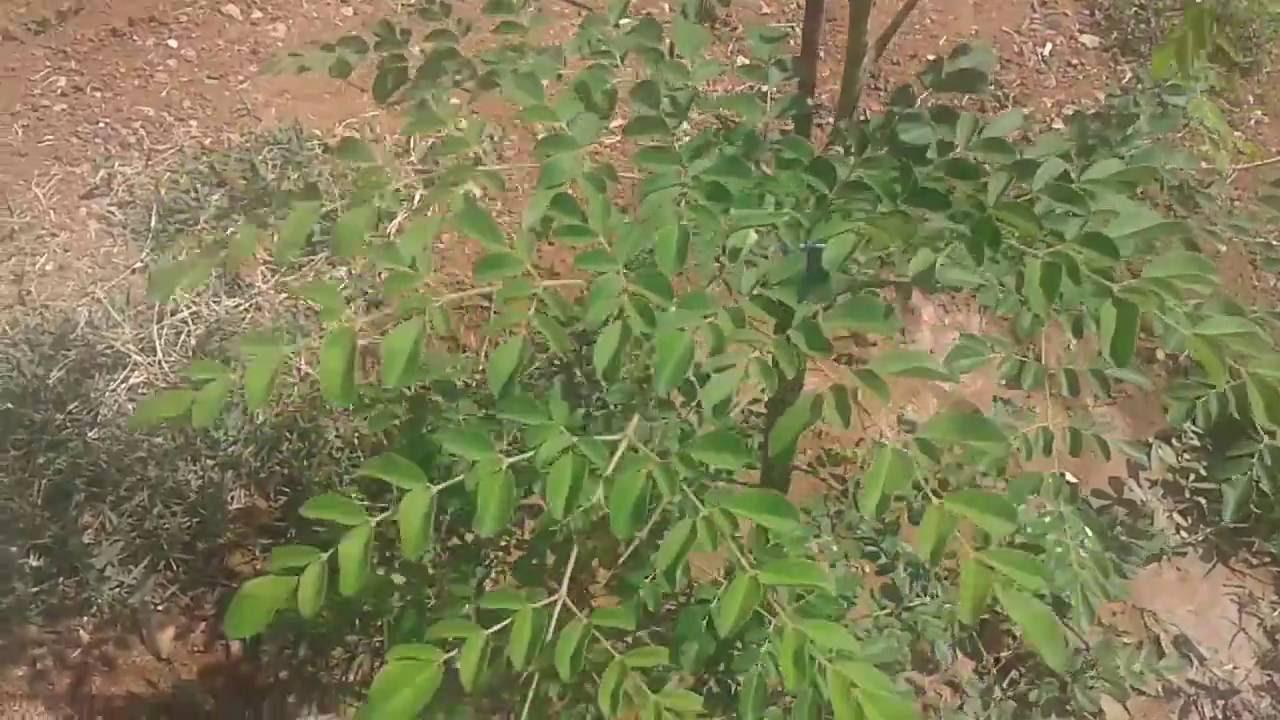 اين يباع شجر المورينجا في الاردن - Shajara