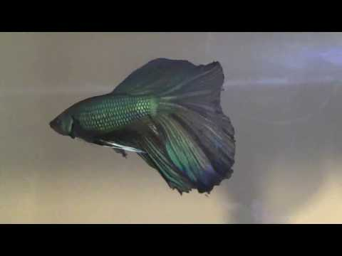 Black Orchid Betta Fish