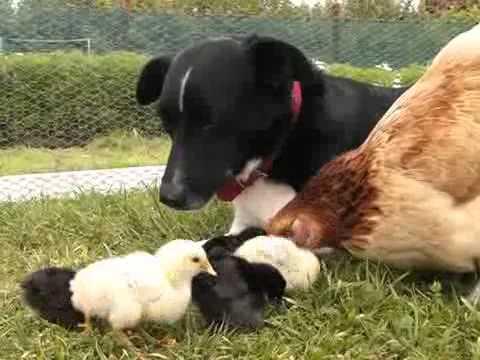 My Dog Bindi the,chicken killer,