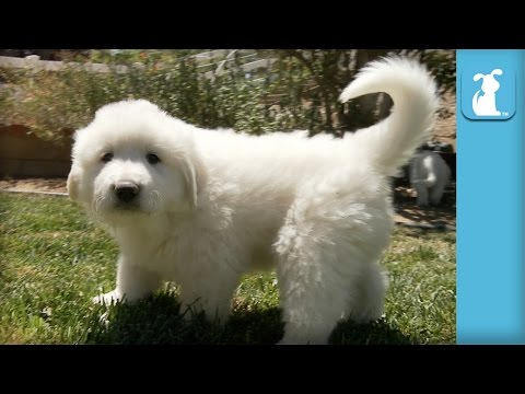 The Fluffiest Great Pyrenees Puppies Ever! - Puppy Love