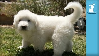 The Fluffiest Great Pyrenees Puppies Ever!  Puppy Love