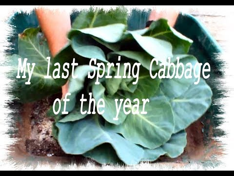 HGV Grow Cabbage  Harvest Spring Cabbage Start to Finish