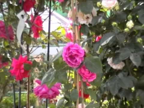 Cifo ascolta le tue piante le rose in vaso funnydog tv - Trapianto camelia ...