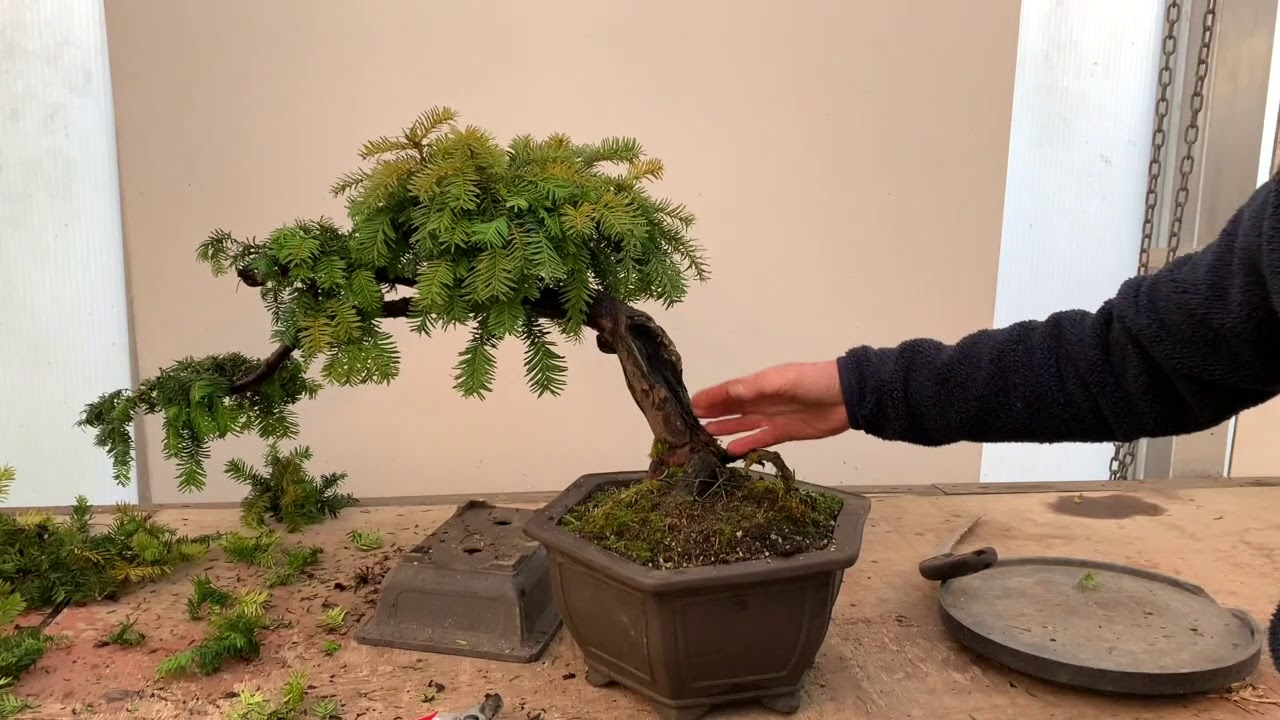 How To Shape A Yew Bonsai Shaping A Yew Bonsai With Peter Chan Herons Bonsai Uk