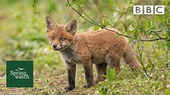 Our spring wildlife webcams live! 🐤🦊🐿 - Fri 29 May - Springwatch - BBC