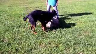 Diesel & Garth Playing - 350 Pounds Of Canine Bliss!