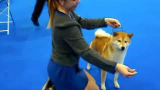 WORLD DOG SHOW 2016 г. Сиба ину. Выставка собак. Москва