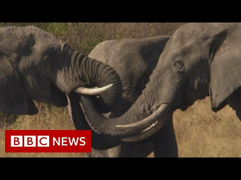 Botswana: Trouble In The Elephant Sanctuary [FULL Documentary]  - BBC News