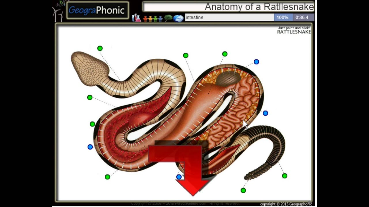 Anatomy Of A Rattlesnake Youtube