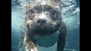 Купание и развитие мышечной массы у щенка питбуля летом. Как приучить собаку к водоему и купанию