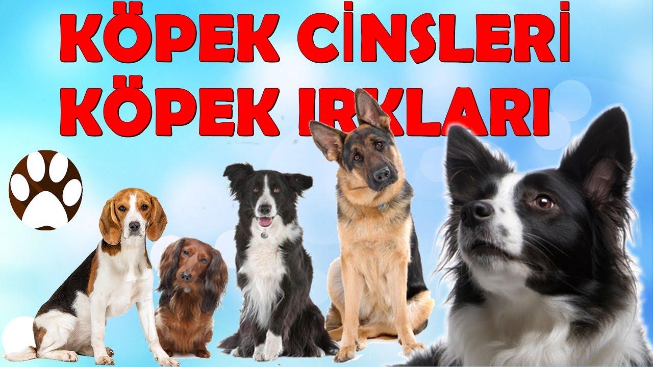 En uzun yaşayan köpek ırkları