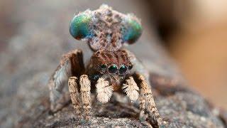Peacock Spider 3 (Maratus vespertilio)