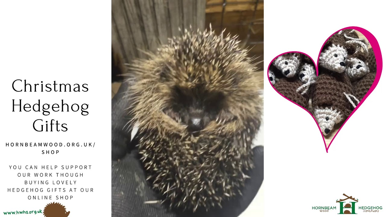 """Daisy"" Young Underweight Hedgehog Rescued Close To Christmas - Hornbeam Wood Hedgehog Sanctuary"