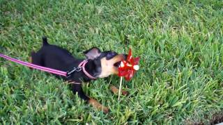 Our Min Pin Journey: Playing With A Pinwheel - 10 Weeks