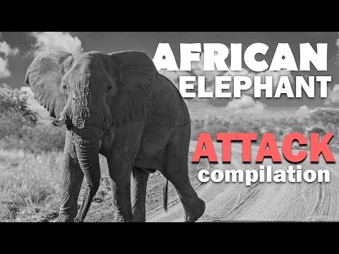 African Elephant Attack. Elephant attacks.