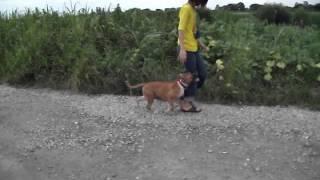 日本のオールド・イングリッシュ・ブルドッグスの子犬です。 ノーリード...